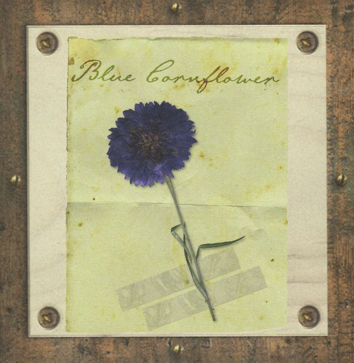 Blue cornflower pressed and framed. About Ruth Wade